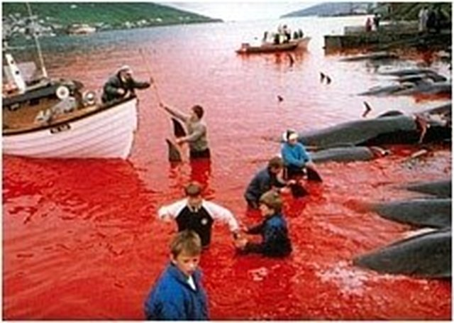 stop the dolphin/whale slaughter in Faroe Islands, Denmark