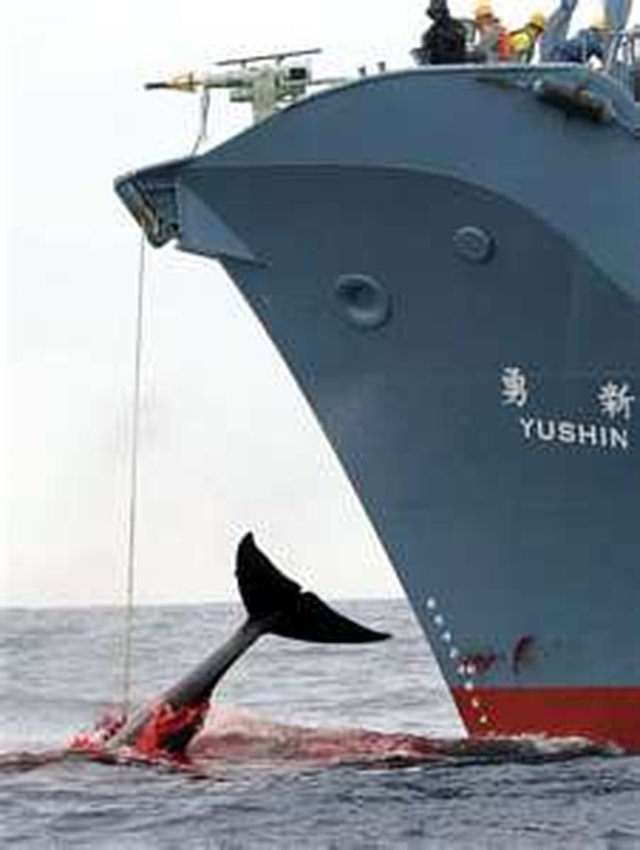 "Stop The Illegal Killing Of Whales For ""Scientific Research"""