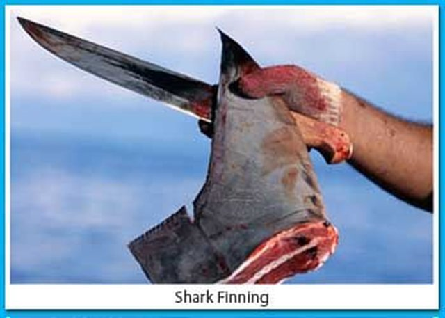 Sign the pledge to not support the shark finning  industry.