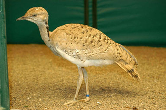 SAVE FROM EXTINCTION THE TINY BIRD, HOUBARA BUSTARD IN PAKISTAN