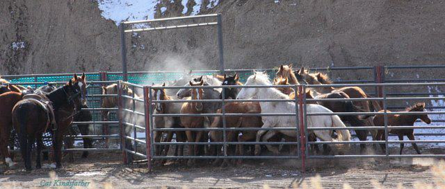 Stop the slaughter of wild horses!