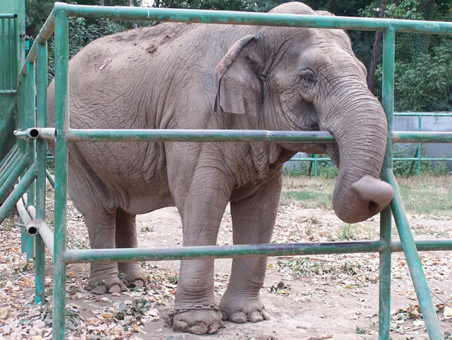 get justice for Gaya the elephant