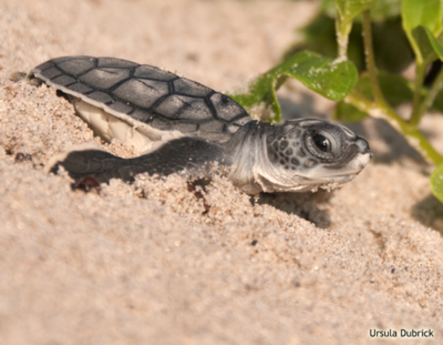 turtle cannibalism what is the biggest threat to sea turtles causes