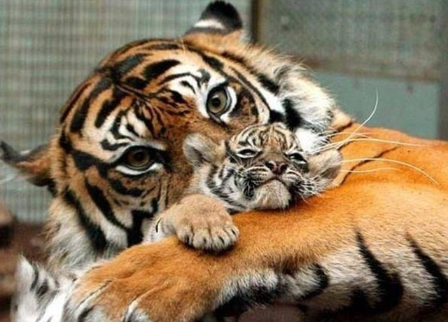 Save The Last Few Wild Tigers From Extinction.
