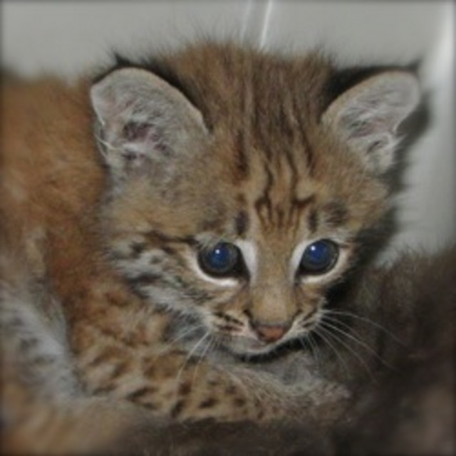 Feed a rescued bobcat kitten for just $10