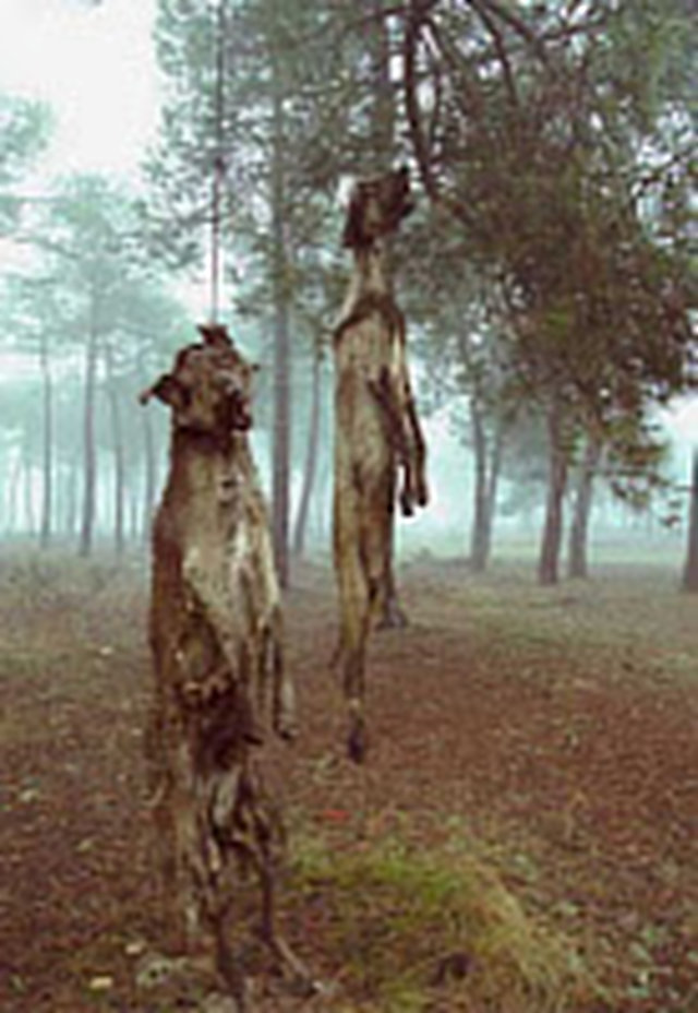 STOP brutal training dogs to hunting in Andalusia (Spain).