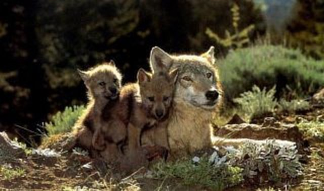 Michigans wolves need to be saved