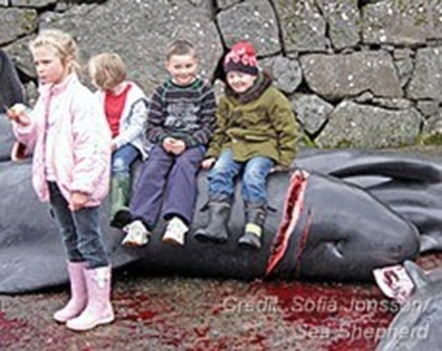 caulderan dophin massacre Calderan dolphin massacre essay the caldarian dolphin massacre is a sad event that happens once a year when the calderon dolphins migrate passing through the shore of denmark's faroe isles.