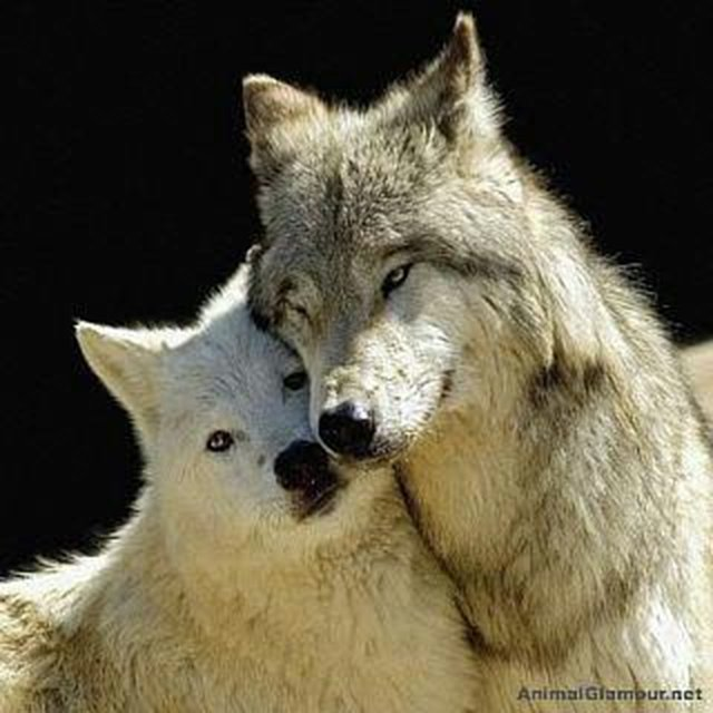 stop Michigan's wolves from being hunted