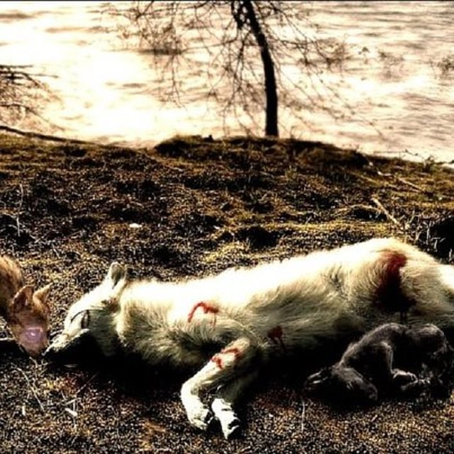 stop the Michigan wolf hunt