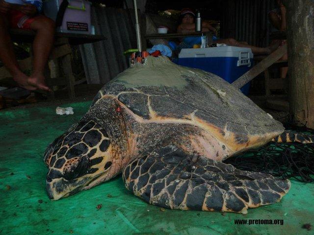 PRETOMA - Programa Restauración de Tortugas Marinas