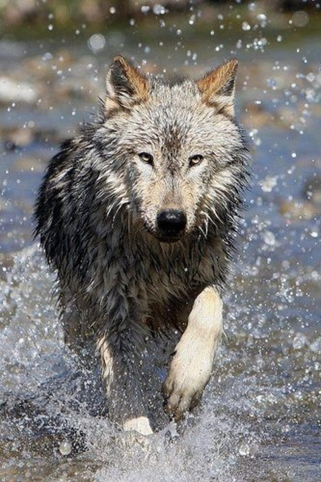 Save the Wedge Pack in Washington State. Wolves need your help!