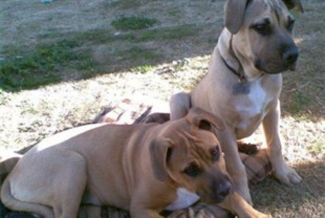"STOP BSL! - Justice for Bear and Kooda KILLED for ""looking"" like PitBulls."