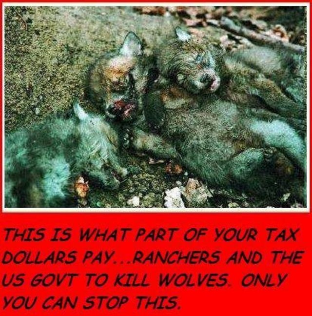stop wolf pup hunting
