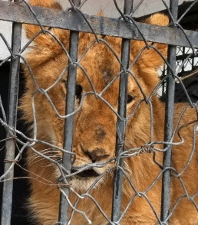 TAKE ACTION - URGE Mexican Officials to release Diego the Lion to U.S Sanctuary!