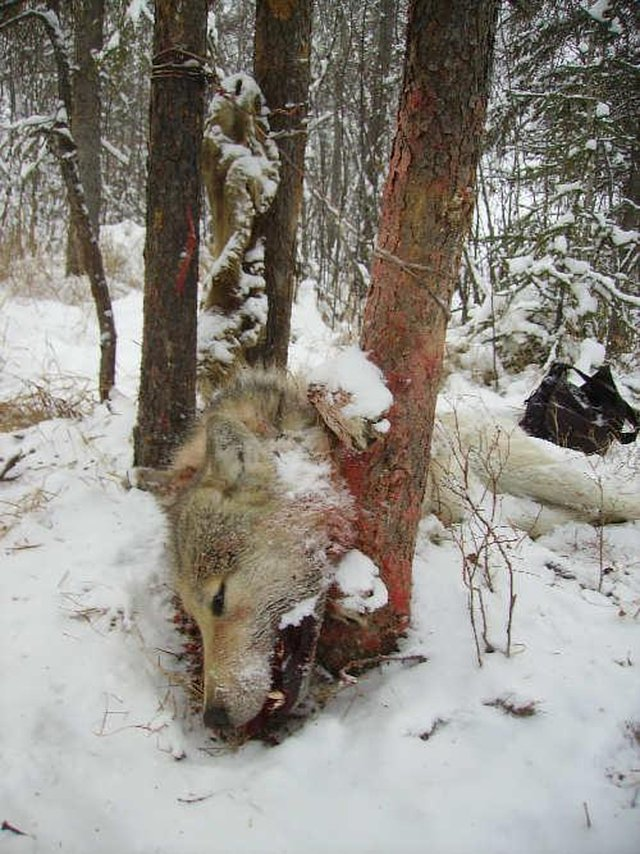 protect the wolves in national parks