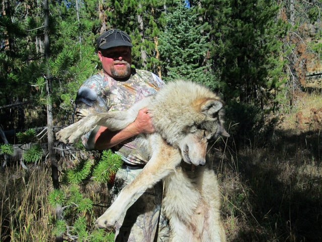 Help the Wolf Packs of Yellowstone Nat'l Park - call the U.S. Wildlife Services