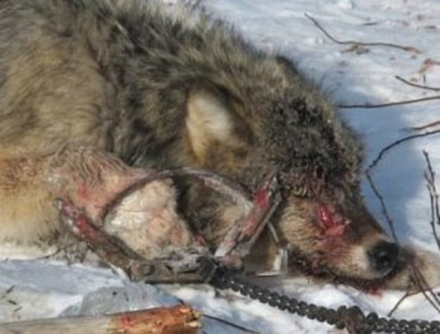 Stop Wolf Hunting and Trapping.