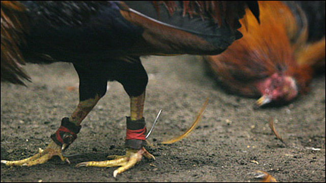 """outlaw cockfighting or """"Sabong"""" in the Philippines"""