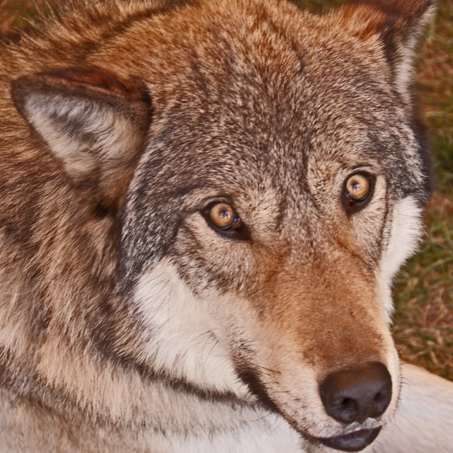 STOP KILLING YELLOWSTONE NATIONAL PARK'S WOLVES