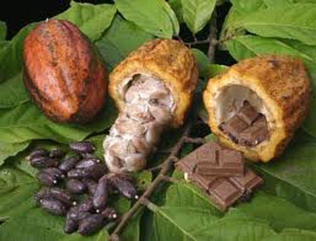 SIN CACAO NO HAY CHOCOLATE