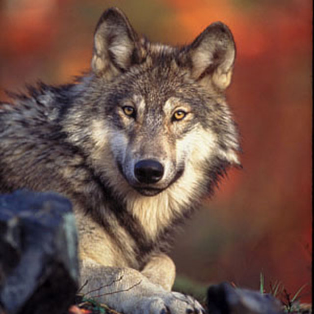 SAVE THE WOLVES BOYCOTT BEEF NATIONAL CAMPAIGN
