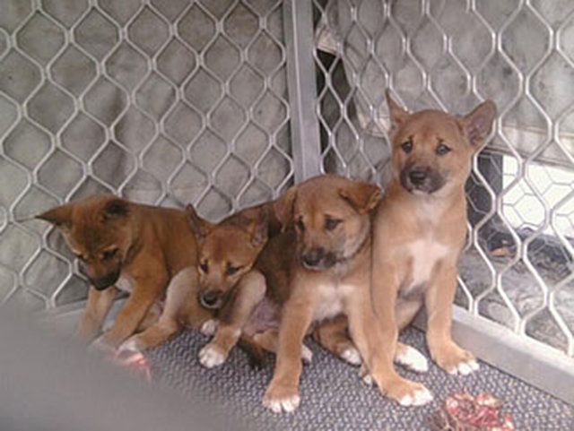 VOICE your outrage over the death of the 4 Dingo pups.