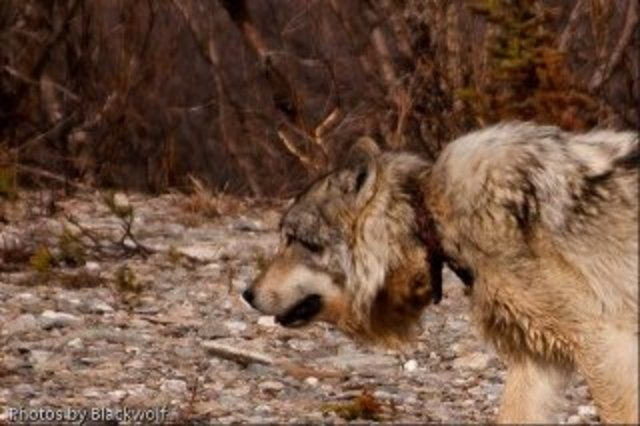 MONTANA WELCOMES PUBLIC COMMENTS ON THE 2012 TRAPPING SEASON - PLEASE LEAVE YOUR COMMENTS