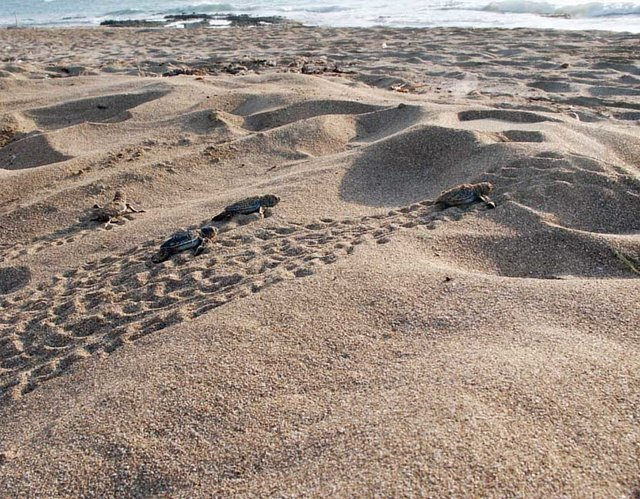 protect Naqura Coast a sanctuary for Turtles