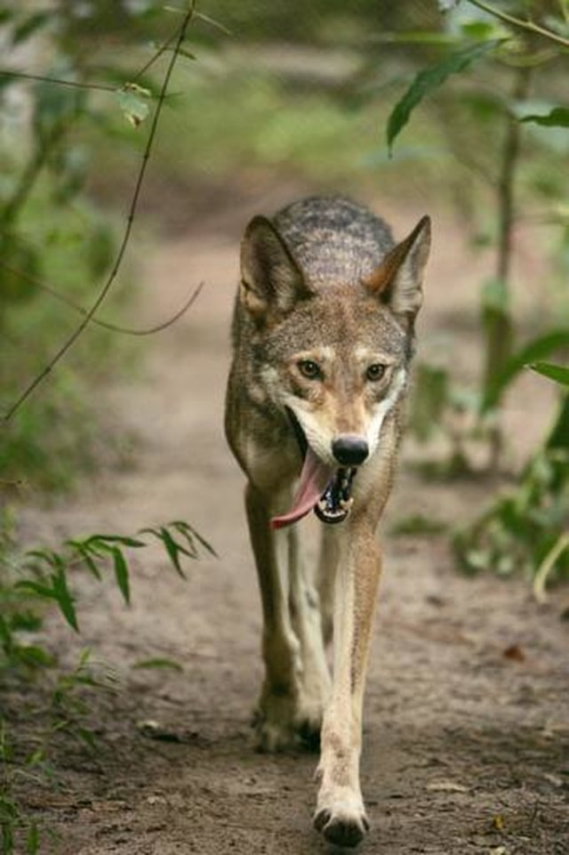 Protect Red Wolves