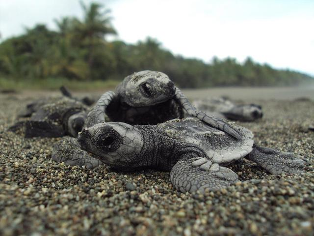 Save endangered sea turtles of the Osa Peninsula!