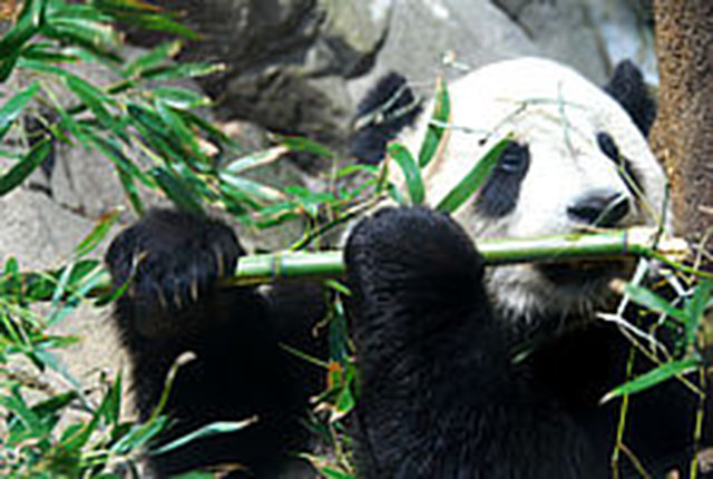 Money for save the Giant Pandas