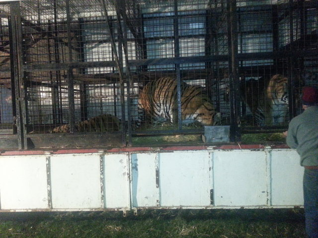 free Tigers from Cortney Brothers circus Ireland