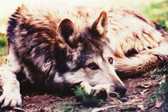 Los Zoológicos de la Ciudad de México Fallan en la Conservación del Lobo Mexicano