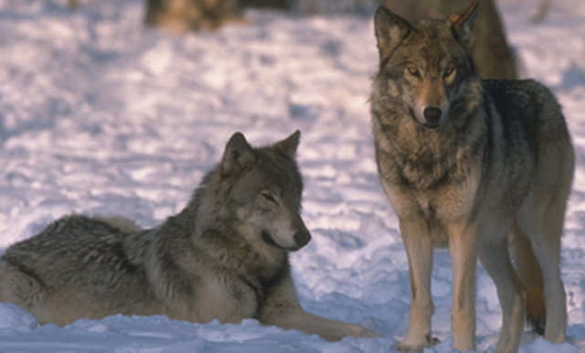 Secretary Jewell: Don't abandon Gray Wolves
